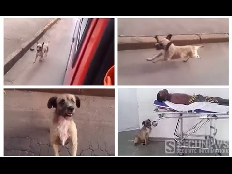 Le chien fidèle d'un sdf poursuit sans relâche l'ambulance transportant son maître