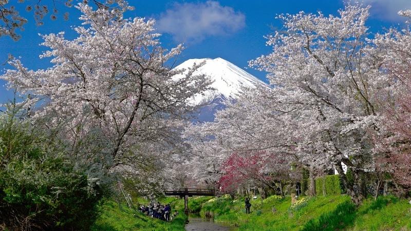 2016 美しすぎる!忍野八海の富士と桜 [4K], Too Beautiful to be true, Mt. Fuji and Cherry blossoms at Oshino, UHD