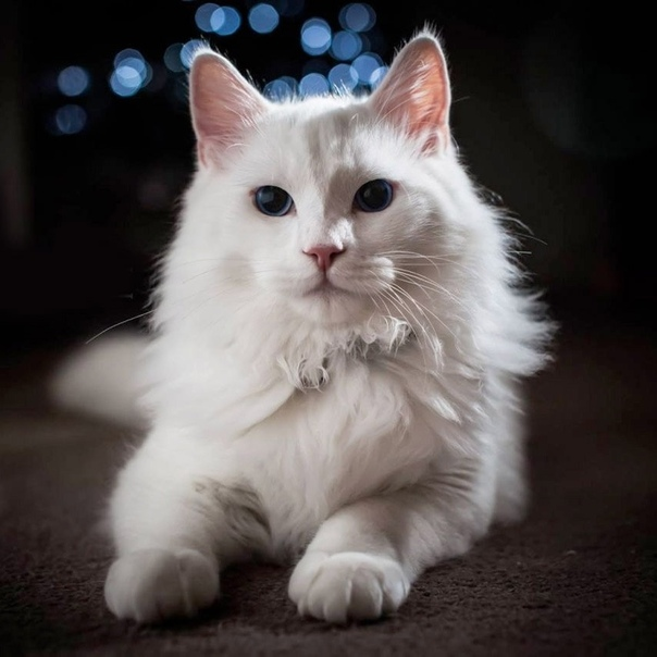 Картинки котят турецкой ангоры