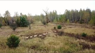 Беспилотник заснял табун лошадей Пржевальского в Чернобыльской зоне отчуждения