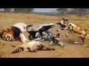 Lửng mật đả kích cực mạnh tổn thương đến : Sư tử , Chó Hoang khét tiếng , Linh Cẩu Chủ tịch châu phi