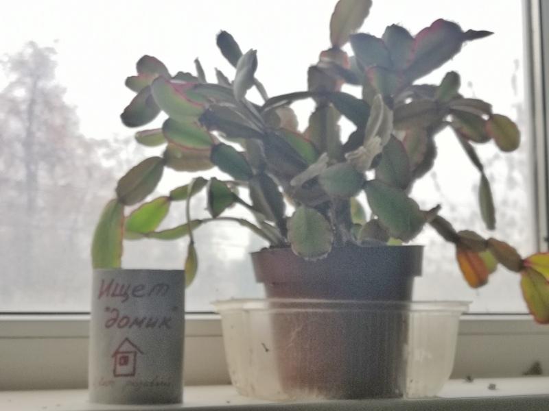 "Лесные кактусы ""Декабристы"" (Шлюмбергеры, Рипсалидопсисы, Эпифиллумы) - Страница 7 ABdP71Y-0uA"