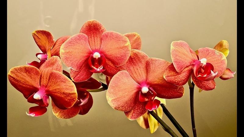 Эта орхидея ПЕСНЬ ПРИБОЯ (Surf Song) приносит в дом ДОСТАТОК