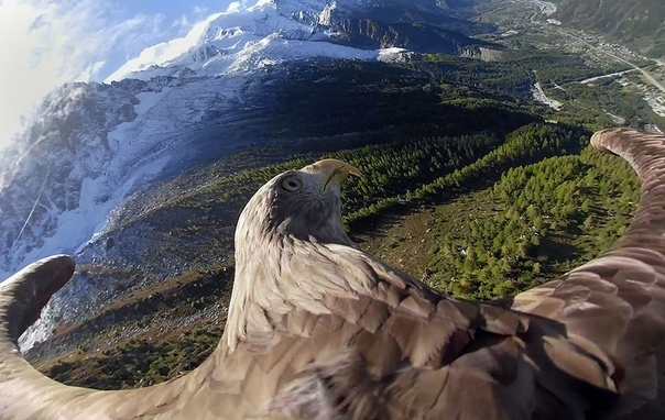 Фото дня: Орел Виктор с прикрепленной камерой пролетает над Альпами