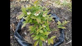 Главный СЕКРЕТ Выращивания Голубики Blueberry