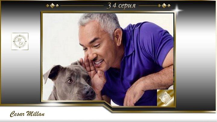34 серия Сезар Миллан Переводчик с собачьего Удар в сердце овчарки