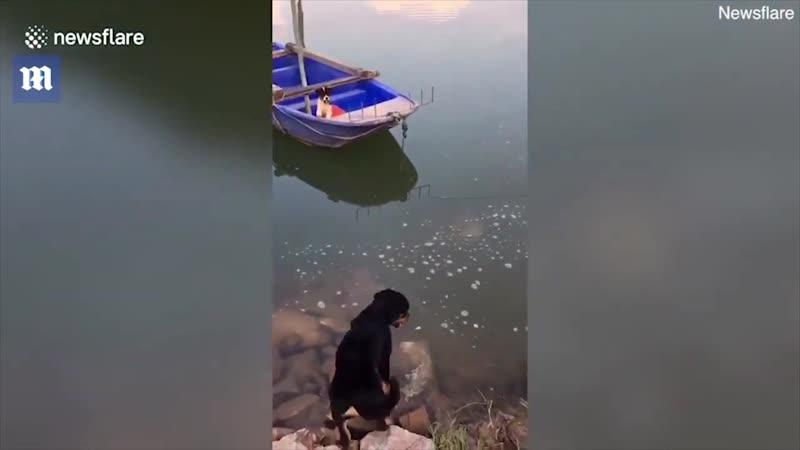 Собака прыгнула воду, чтобы спасти боящегося плавать щенка