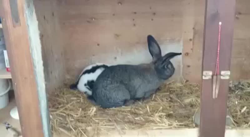Случка кроликов!