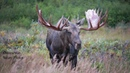 Awesome Bull Moose A Favorite of Ours