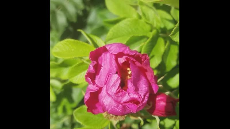 Обожаю аромат цветка шиповника и пушистенькие жопки шмелей!)