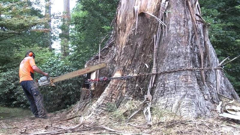 Most Falling Biggest Tree Cut Down Dangerous Easy Fastest Skills Operator Felling Tree Techniques
