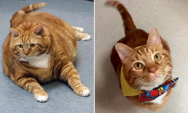 Как Сделать Чтобы Кот Похудел. Как коту похудеть: простые и действенные методы, диета, питание и уход