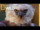 Beware The Harpy!   Peru's Wild Kingdom