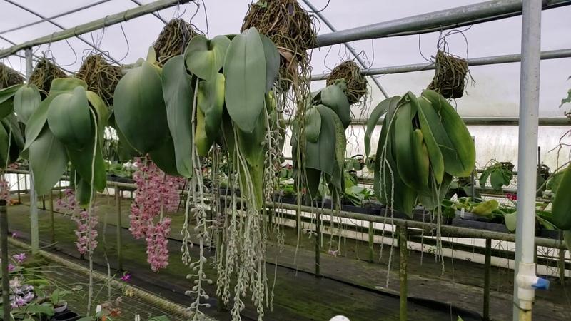 HUGE Phalaenopsis gigantea tour at Krull Smith greenhouse