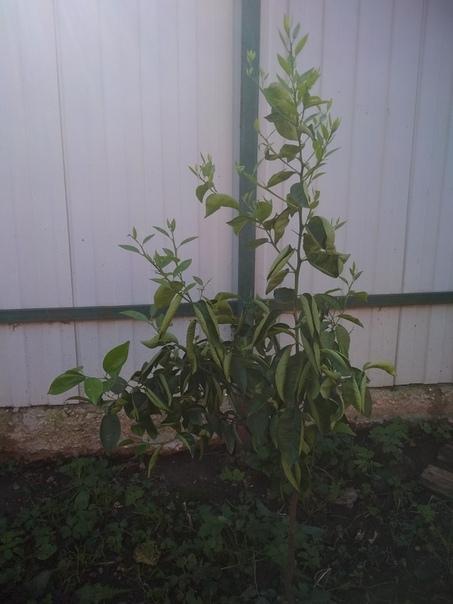 Подскажите, пожалуйста,чем помочь растению.