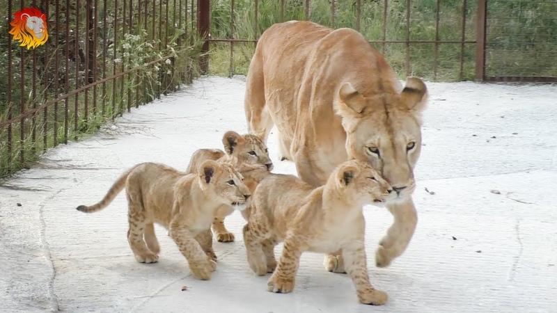 Говорящие львята Такого вы еще НЕ СЛЫШАЛИ Лолины малыши Тайган Lion cubs are talking Taigan
