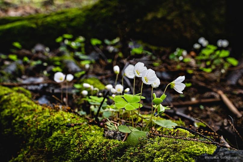 Вековой мох и молодая кисличка. Очень интересное сочетание.