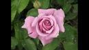 обрезка плетистой розы, вариант 2, питомник роз Полины Козловой,