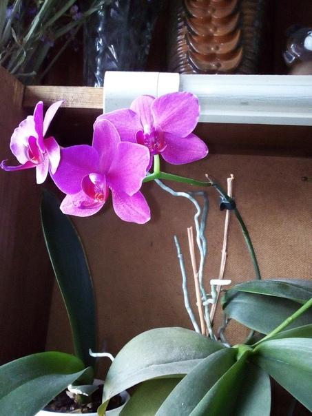 Продам орхидеи ,не детки , есть которые зацветают. От 200-350 руб вмес
