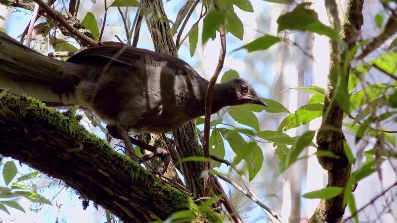 ДИКИЕ ПТИЦЫ АВСТРАЛИИ WILD BIRDS OF AUSTRALIA s01e04 1080p D