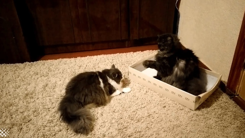 Two kittens battle it out for a place in the shoe box | Cute Cat Fight