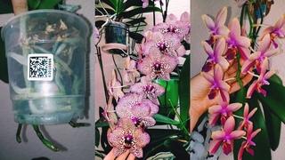 Корни куда девать!!! Орхидеи малыши 1.7 в торфстакане, уход 31 марта 2021 г.