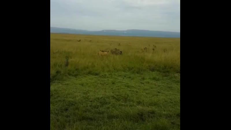 спасение приходит в самый нужный момент. Львиный прайд спасает львицу, атакованную стаей гиен в национальном заповеднике Кении.