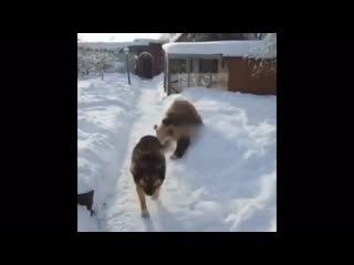 Dog like a boss vs bear