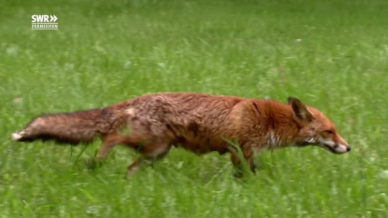 Fuchs tötet Hühner und klaut Schuhe