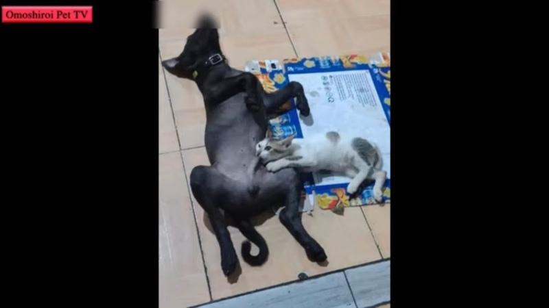 「おもしろい犬 猫」最高におもしろい犬と猫の喧嘩・かわいい犬 猫のハプニング集 3