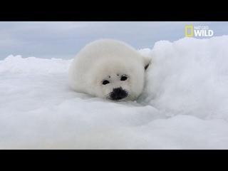 Les bébés phoques de l'Arctique