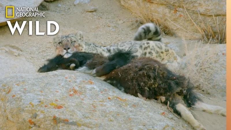 Snow Leopard Makes a Kill | Wild Cats of India Big Cat Kingdom