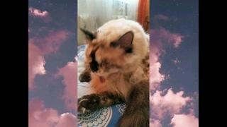 #Shorts Кошка Бонька чистюля! Красота это страшная сила!#короткоевидео