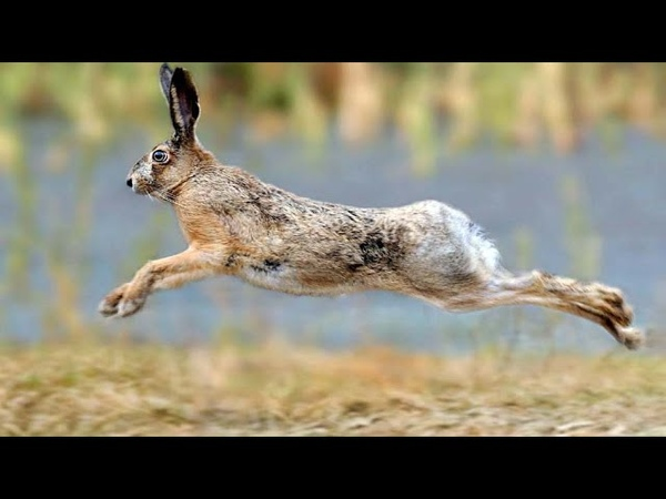Притча № 17 Про зайца бегущего по воде