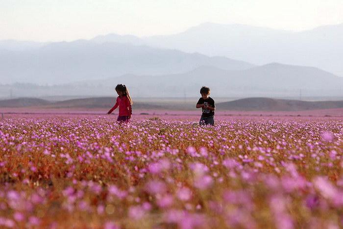 Цветущая пустыня Атакама, изображение №2