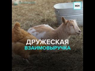 Животные на ферме в Нидерландах спасли курицу от напавшего на нее ястреба — Москва 24