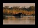 Нильские крокодилы охотятся на слишком крупную добычу