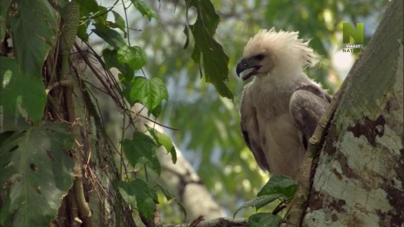 BBC Мир природы Крылатые охотники на обезьян