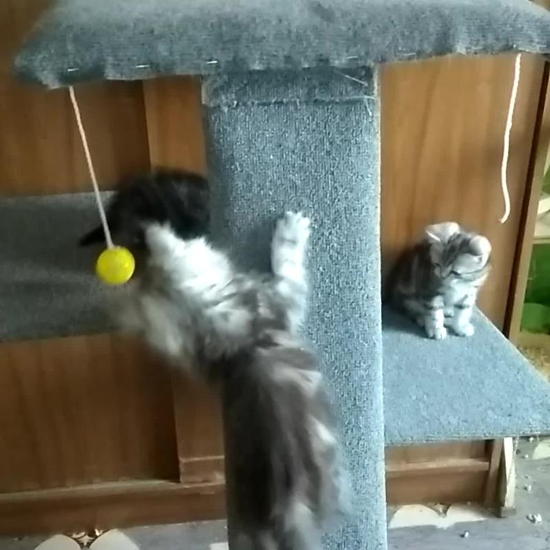 Шотландские мраморные котята Казань часть 2
