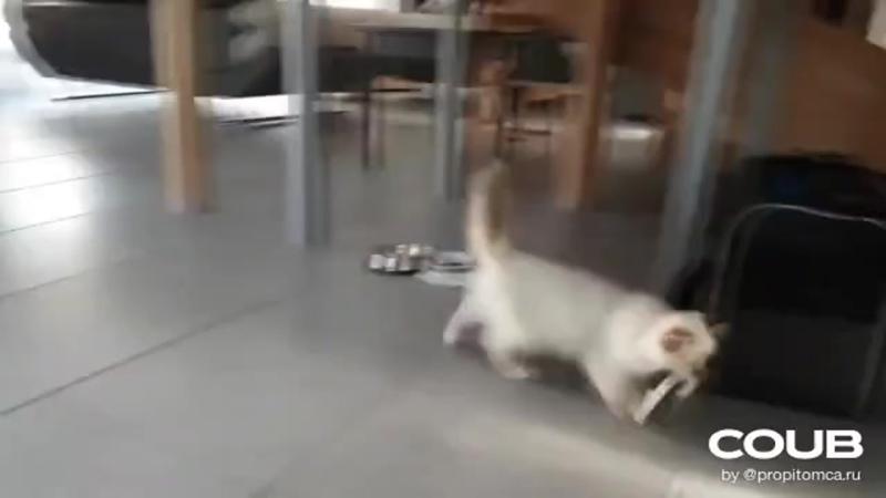 Бирманская #кошка - порода Священная #бирма