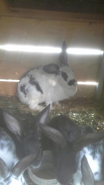 Продам крольчиху ей примерно 1,5 года цена 1000 ру...