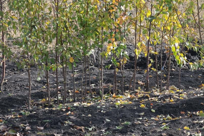 Чтобы дерево прижилось и зацвело  Почему саженцы лучше покупать осенью, как их правильно выбирать, сажать, что... [читать продолжение]