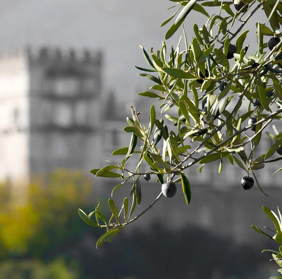 Маслины и оливки купить Москва