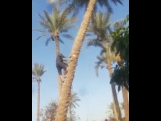 сруб пальмы