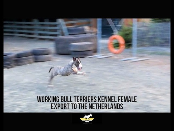 Bull Terrier Blondie Export to the Netherlands