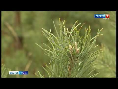 В Солотчинском лесничестве наметили площадки где можно будет рубить елки к новогодним базарам