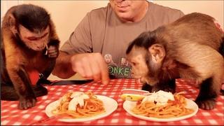 Capuchin Monkey Couple Shares Pasta Dinner!