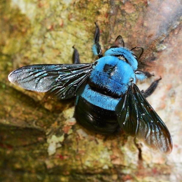 фотографии, черные пчелы древесные фото частиц
