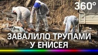 Кучи разлагающихся трупов животных нашли у Енисея под Красноярском